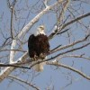 Bald Eagle Watching For Beginners