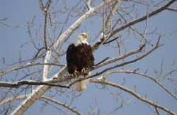Bald Eagle Spotted at the Park